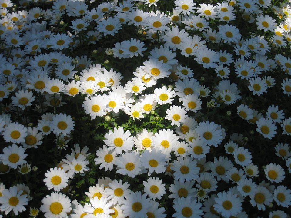 陽光が当たっているデイジーの花畑