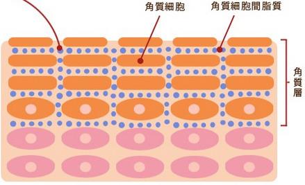 角質細胞間脂質