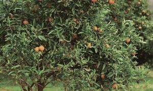 マンダリンの木