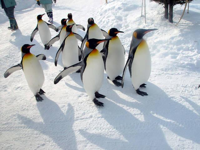 動物園内を散歩するペンギン