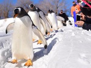 おたる水族館のペンギンの散歩