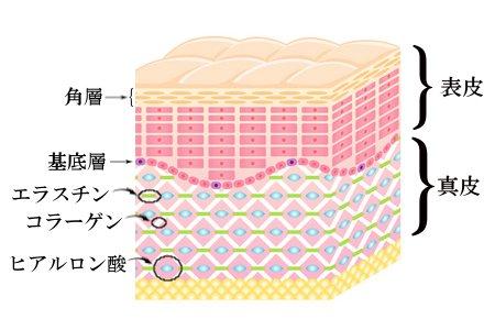 肌の断面図解説