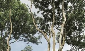 ローズウッドの木