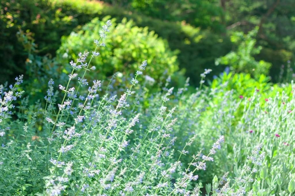 庭で咲いているセイジ