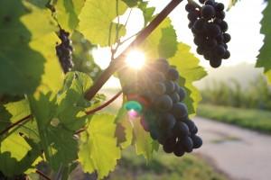 葡萄畑のブドウ