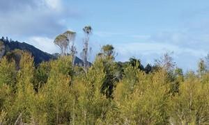 ティートリーの木