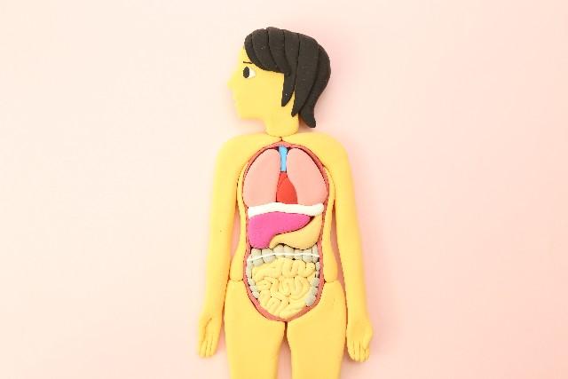 肌のバリア機能は腸の免疫機能と強い関係が